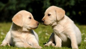Golden Lab Puppies